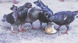 pigeons-1208334_640